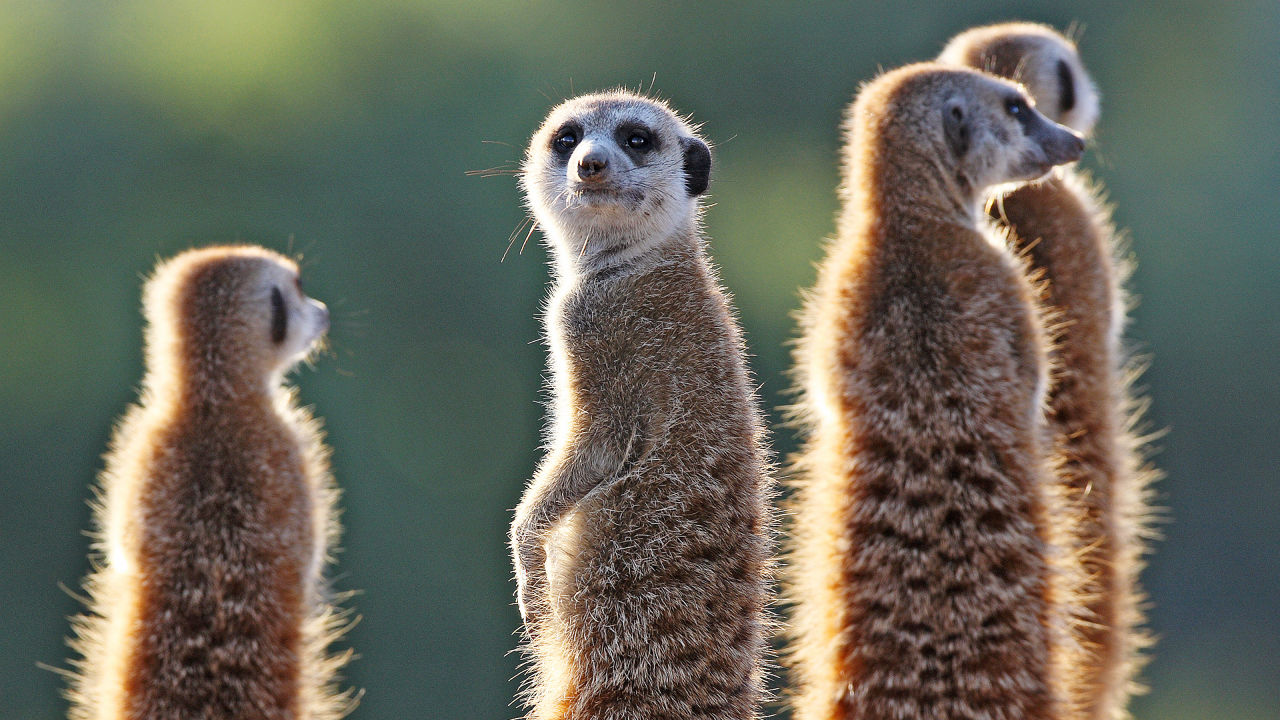 a lesson in safety from meerkats
